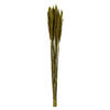 "Photograph of 36"" Green Plume Reed Bundle"