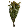 "Photograph of  12"" Natural Green Tortum w/XL Cones"