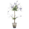 "Photograph of 44"" Lavender In Cement Pot"